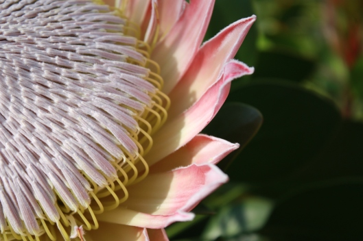 The Giant Flower of the King Protea by John Shortland, flickr