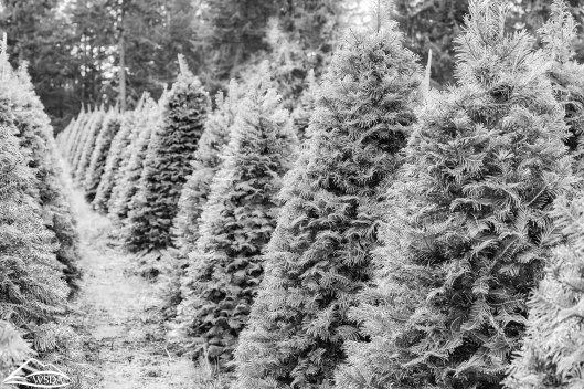 christmas tree farm by washington state department