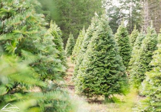 Washington State Department of Agriculture, Washington Christmas Tree Farm